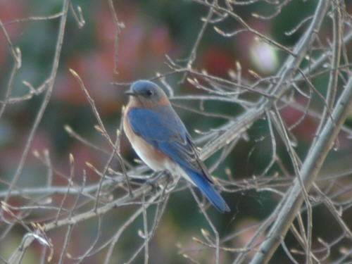 Eastern Bluebirds On Lake Norman Nc Photos And Information