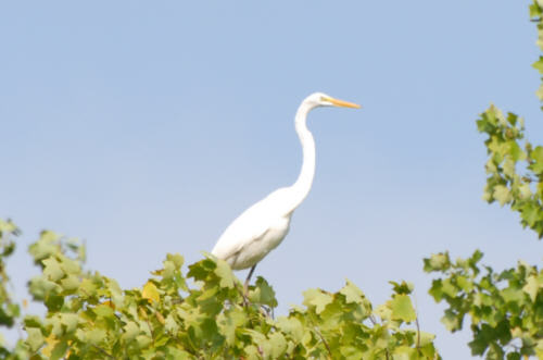 Great White Egret On Lake Norman Nc Photos And Information