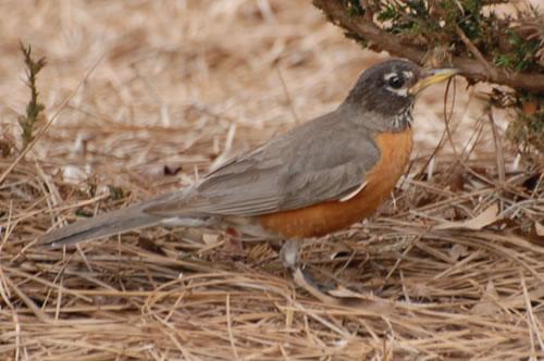 American Robins On Lake Norman Nc Robin Photos And