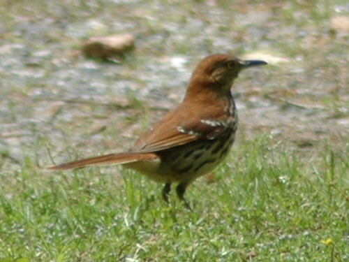 Brown Thrashers On Lake Norman Nc Photos And Information
