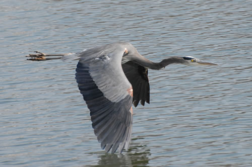 Great Blue Herons On Lake Norman Nc Photos And Information