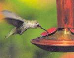 {Hummingbird image}