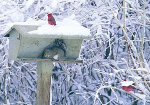 {Cardinal in snow image}